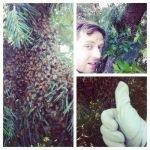 Dustin Bajer swarm catching honeybees in Edmonton, Alberta.
