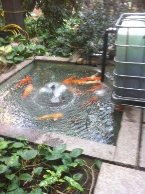 Building a pond aquarium biofilter dustin bajer for Indoor koi fish pond