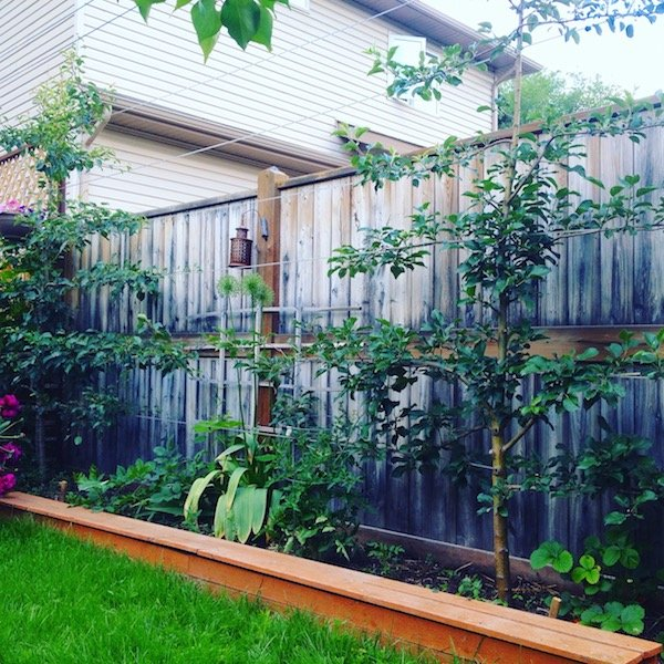 Save E And Increase Yield With Espalier Fruit Trees Dustinbajer