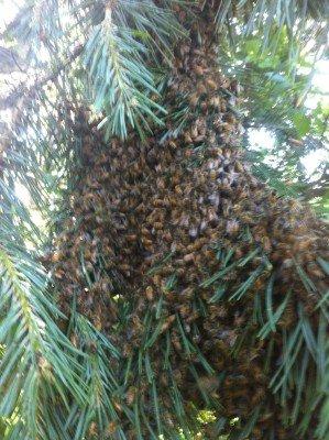 A swarm of honeybees settle on a branch. Edmonton Swarm Capture