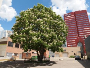 Historic Downtown Edmonton Holowach Horse-Chestnut Tree