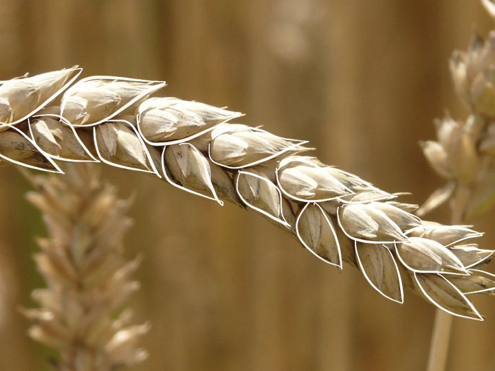 Ear of wheat grown in a monoculture.