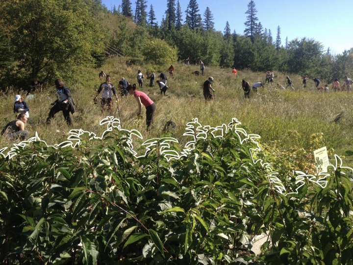 Volunteers planting a food forest in Edmonton's river valley.