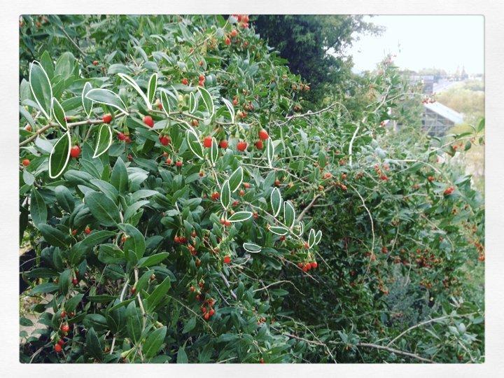 Wild goji berries growing in Edmonton's river valley.