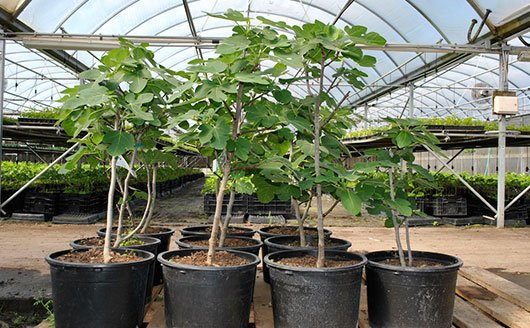 Growing Figs in Containers